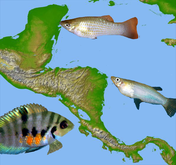 SRTM map with Poecilia mexicana, Amatitlania nigrofasciata, and Alfaro cultratus